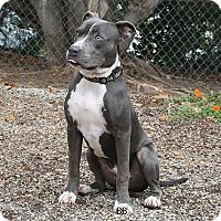 Adopt A Pet :: Scamp - Santa Barbara, CA