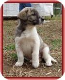 Bearded Collie/Labrador Retriever Mix Puppy for adoption in Allentown, Pennsylvania - Lara