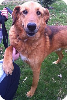 Golden Retriever/Shepherd (Unknown Type) Mix Dog for adoption in Spring Valley, New York - Max