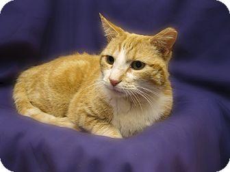 Domestic Shorthair Cat for adoption in Richmond, Virginia - Jack