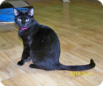 Domestic Shorthair Cat for adoption in Dover, Ohio - Whitney