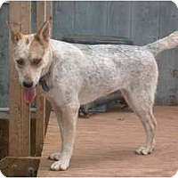 Australian Cattle Dog Dog for adoption in Anton, Texas - Mya