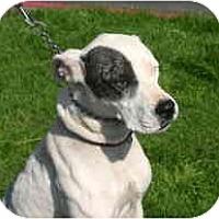 Adopt A Pet :: Dooma-Dingo - Gilbert, AZ