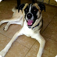 Adopt A Pet :: Coutsey Post -BOOMER - Burleson, TX