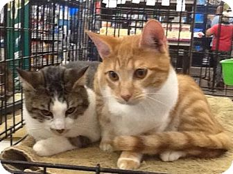 Domestic Shorthair Cat for adoption in San Antonio, Texas - James and Jasper
