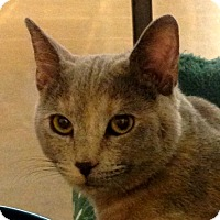 Domestic Shorthair Cat for adoption in Winchester, California - Cinderella