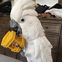 Cockatoo for adoption in Blairstown, New Jersey - Reggie - umbrella