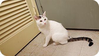 Domestic Shorthair Cat for adoption in Indianola, Iowa - Bob