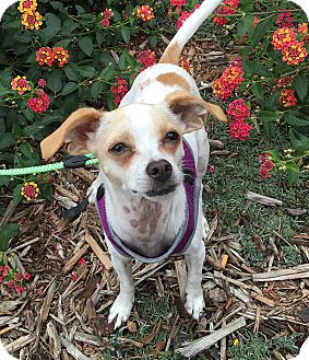Chihuahua/Terrier (Unknown Type, Small) Mix Dog for adoption in Santa Clara, California - Oliver-ADOPTED!!