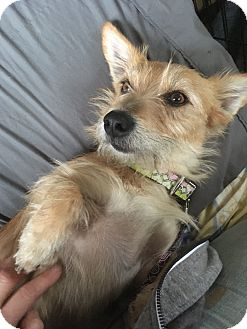 Corgi/Glen of Imaal Terrier Mix Dog for adoption in Tracy, California - Lad-ADOPTED!