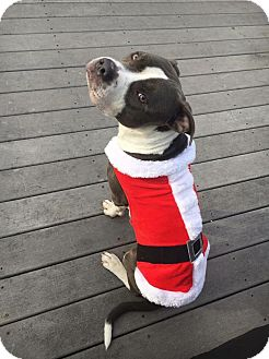 Pit Bull Terrier Mix Dog for adoption in Hartford, Connecticut - Sampson