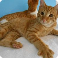 American Shorthair Kitten for adoption in Ponchatoula, Louisiana - Juvenile Kittens