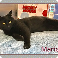 Bombay Cat for adoption in Atco, New Jersey - Mario