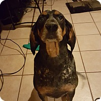 Coonhound Mix Dog for adoption in Phoenix, Arizona - Dale