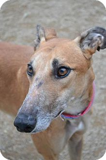 Greyhound Dog for adoption in Chagrin Falls, Ohio - Pete (PTL Scooter)