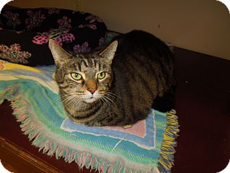 Domestic Shorthair Cat for adoption in Medina, Ohio - Carry