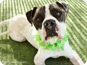 American Bulldog/American Pit Bull Terrier Mix Dog for adoption in Phoenix, Arizona - Peppercorn