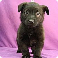 Adopt A Pet :: Nova - Broomfield, CO