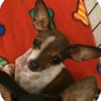 Adopt A Pet :: Kobe - burger brother - Phoenix, AZ