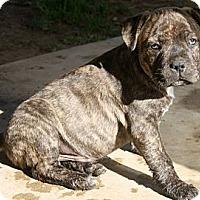 Adopt A Pet :: Dale - Cypress, CA