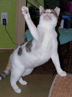 Domestic Shorthair Cat for adoption in Tucson, Arizona - Mindy