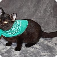 Domestic Shorthair Kitten for adoption in Jackson, Mississippi - Jasper