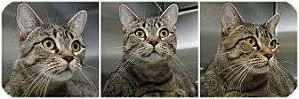 Domestic Shorthair Cat for adoption in Forked River, New Jersey - Brooke