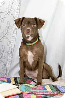 Chihuahua Dog for adoption in Little Rock, Arkansas - Maya