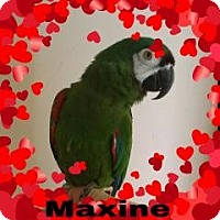 Adopt A Pet :: Maxine - Red Oak, TX