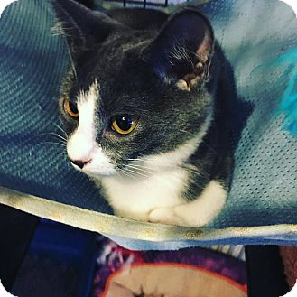 Domestic Shorthair Kitten for adoption in Hanna City, Illinois - Opal