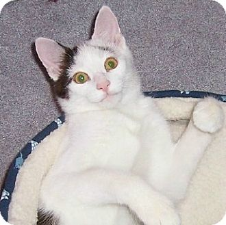 Abyssinian Kitten for adoption in Taylor Mill, Kentucky - Happy Harry-Declawed 5 month