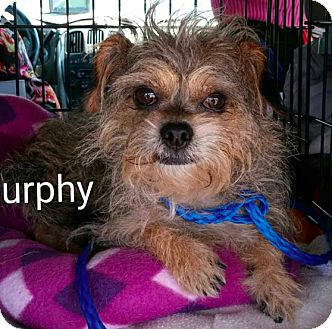Terrier (Unknown Type, Small) Mix Dog for adoption in Encinitas (San Diego), California - Murphy