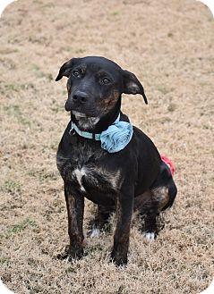 German Shepherd Dog/Labrador Retriever Mix Puppy for adoption in Eden Prairie, Minnesota - Luna