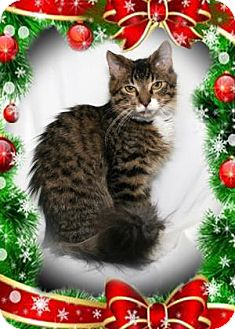 Domestic Mediumhair Cat for adoption in Bradenton, Florida - Jack