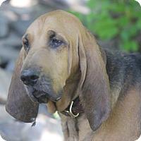 Bloodhound Dog for adoption in Stanfordville, New York - Nelly