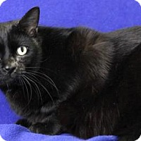 Adopt A Pet :: Shadow (Moorestown Petsmart) - Blackwood, NJ