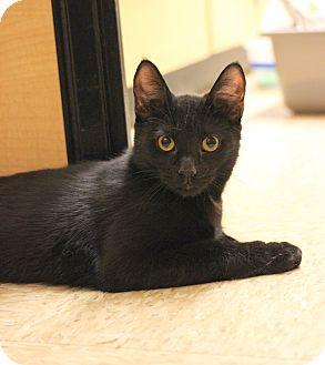 Domestic Shorthair Kitten for adoption in Carlisle, Pennsylvania - Iago
