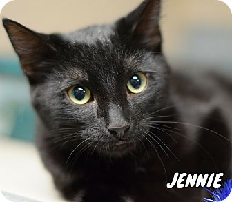 Domestic Shorthair Cat for adoption in Hanna City, Illinois - Jennie-adoption pending
