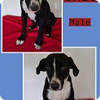 Adopt A Pet :: Oreo meet me 6/2 - Manchester, CT