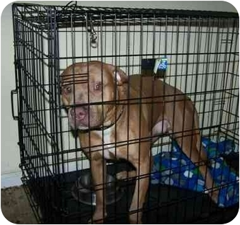 Pit Bull Terrier Dog for adoption in Little River, South Carolina - Reece