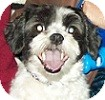 Japanese Chin/Shih Tzu Mix Dog for adoption in Hamilton, Ontario - Jake