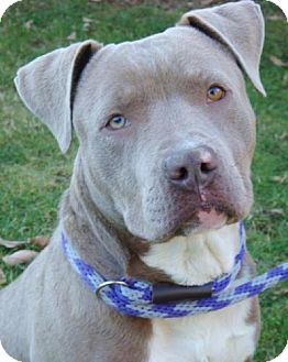American Pit Bull Terrier Mix Dog for adoption in Red Bluff, California - Mathis