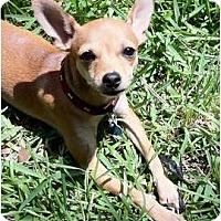 Adopt A Pet :: VALENTINA - AUSTIN, TX