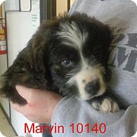 Adopt A Pet :: Marvin - Greencastle, NC