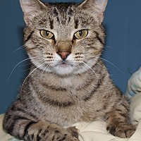 Domestic Shorthair Cat for adoption in Jackson, Mississippi - Miss Vicky