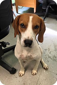 Hound (Unknown Type)/Beagle Mix Dog for adoption in Colonial Heights animal shelter, Virginia - Roscoe