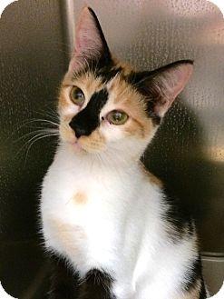 Calico Cat for adoption in Lake Elsinore, California - Beyonce