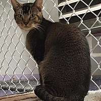 Abyssinian Cat for adoption in Freeport, New York - Jerry