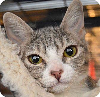 Domestic Shorthair Kitten for adoption in Sherman Oaks, California - China