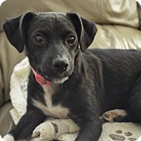 Jack Russell Terrier Mix Puppy for adoption in Santa Maria, California - Daisy